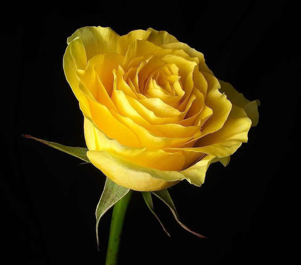 download rose flower screensaver 0 2