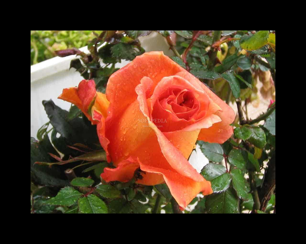 Download rose screensaver2 1 0 - Rose screensaver ...
