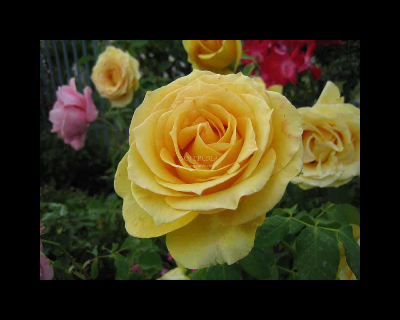 Download rose screensaver3 1 0 - Rose screensaver ...