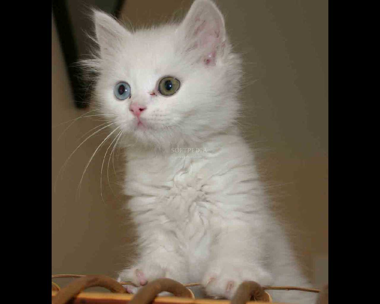 white kitten pictures